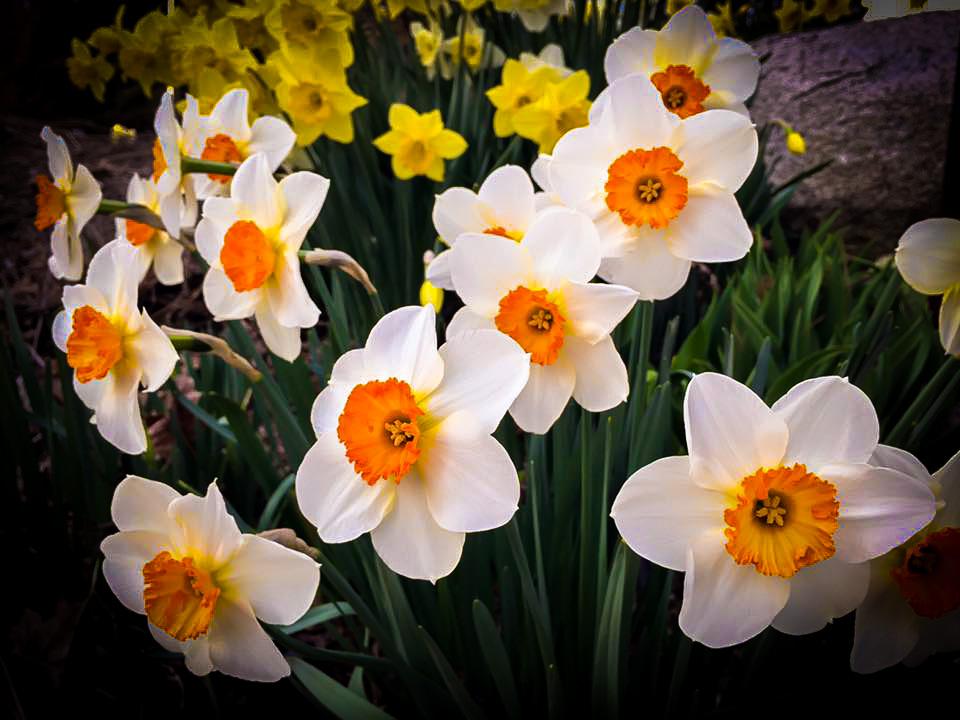 daffodils-2